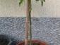 Pianta di Solanum torvum alta 60 cm