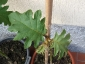 particolare della pianta di Solanum torvum