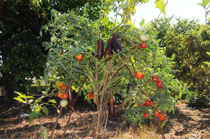 femminelle melanzane e pomodori piante innestate orticoltura