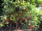 giuseppe-marino-albero-melanzane-e-pomodoro-1.jpg