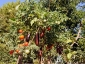 giuseppe-marino-albero-melanzane-e-pomodoro-2.jpg