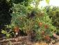 giuseppe-marino-albero-melanzane-e-pomodoro-3.jpg