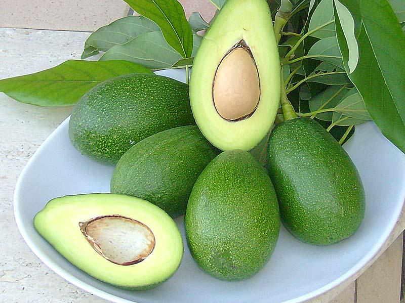 Piante Di Avocado : Coltivare avocado a palermo flora