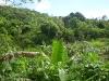 Immersa nel verde una pianta di banano