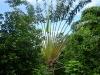 Ravenala madagascariensis, molto più comunemente conosciuto come L\'albero del viaggiatore (o palma del viaggiatore)