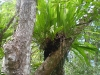 Un\'orchidea epifita