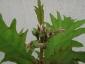 solanum-torvum-frutti-02