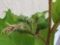 solanum-torvum-frutti-04