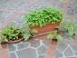 Solanum torvum in vaso - piante di 3 mesi