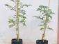 I pomodorini di Pachino su S. torvum