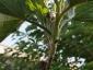 Innesto per approssimazione 'aprile 09 bianca gigante su S. torvum