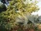 Albero di Solanum torvum - bacche e fiori