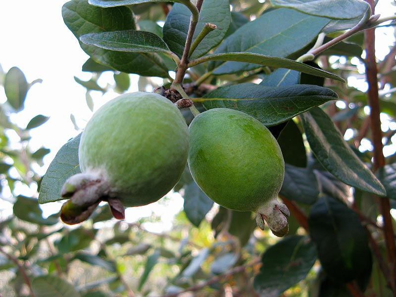 Guai bo del brasile un angolo tropicale nel mio giardino for Pianta feijoa