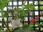 Albero delle melanzane: innesto erbaceo per approssimazione della melanzana sul Solanum torvum-01