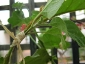 Albero delle melanzane: innesto erbaceo per approssimazione della melanzana sul Solanum torvum-02