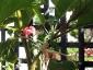 Albero delle melanzane: innesto erbaceo per approssimazione della melanzana sul Solanum torvum-04