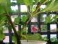 Albero delle melanzane: innesto erbaceo per approssimazione della melanzana sul Solanum torvum-05
