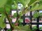 Albero delle melanzane: innesto erbaceo per approssimazione della melanzana sul Solanum torvum-06