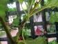 Albero delle melanzane: innesto erbaceo per approssimazione della melanzana sul Solanum torvum-07