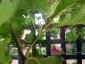 Albero delle melanzane: innesto erbaceo per approssimazione della melanzana sul Solanum torvum-08