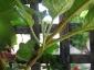 Albero delle melanzane: innesto erbaceo per approssimazione della melanzana sul Solanum torvum-09