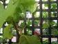 Albero delle melanzane: innesto erbaceo per approssimazione della melanzana sul Solanum torvum-11