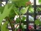 Albero delle melanzane: innesto erbaceo per approssimazione della melanzana sul Solanum torvum-12