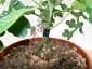 foto-1-innesto-di-pomodoro-e-melanzana-su-solanum-02-maggio