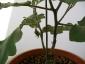 foto-4-inizia-a-fiorire-la-melanzana-12-giugno
