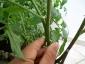 foto-5-approssimazione-del-pomodoro-21-giugno