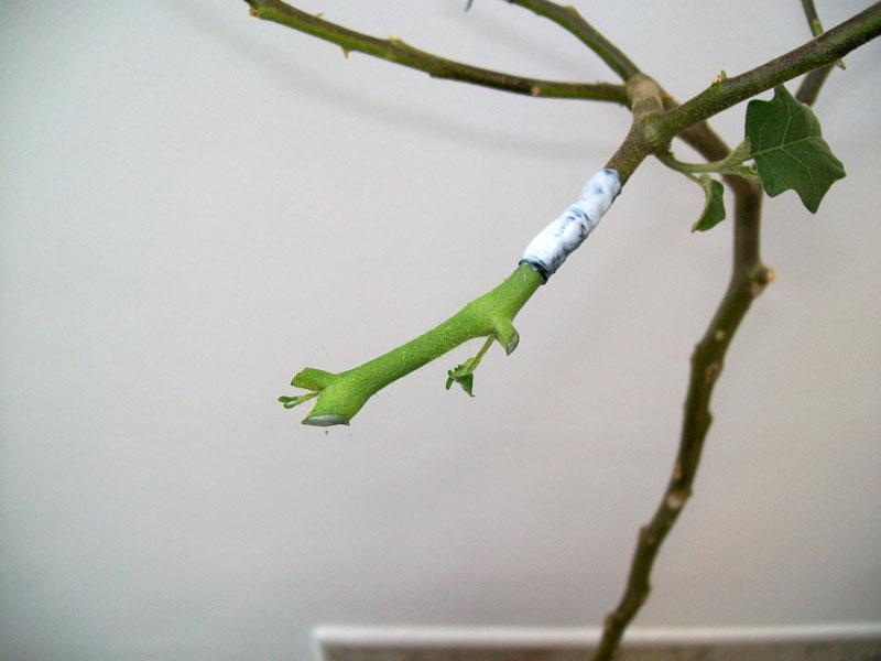 25 cm di melanzana in figa gonfia - 3 2