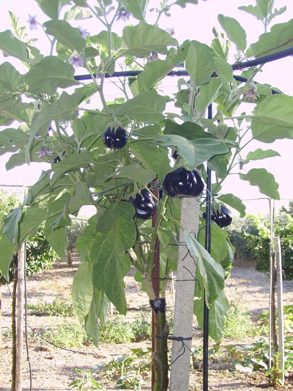 Solanum torvum un 39 altra ottima esperienza di un lettore for Melanzane innestate