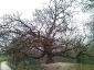 quercia-delle-streghe-capannori-01