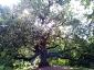 quercia-delle-streghe-capannori-02