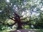 quercia-delle-streghe-capannori-03