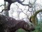 quercia-delle-streghe-capannori-04
