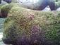 quercia-delle-streghe-capannori-05