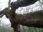 quercia-delle-streghe-capannori-07