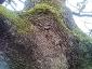 quercia-delle-streghe-capannori-08