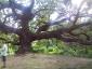 quercia-delle-streghe-capannori-09