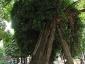 La Robinia pseudoacacia di square viviani a Parigi 1