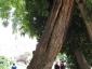 La Robinia pseudoacacia di square viviani a Parigi 2