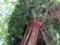 La Robinia pseudoacacia di square viviani a Parigi 3