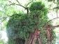 La Robinia pseudoacacia di square viviani a Parigi 5