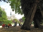 La Robinia pseudoacacia di square viviani a Parigi 6