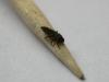 Proporzioni: larva su stuzzicadenti