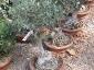 16-murabilia-09-bonsai
