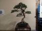 18-murabilia-09-bonsai