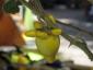 32-murabilia-09-Solanum-mammosum