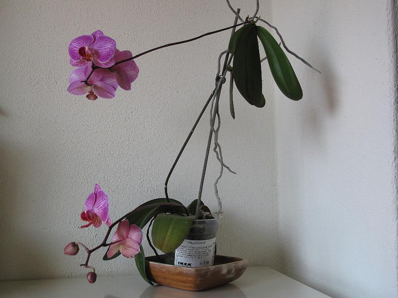 La spettacolare fioritura simultanea della phalaenopsis e for Nuovo stelo orchidea